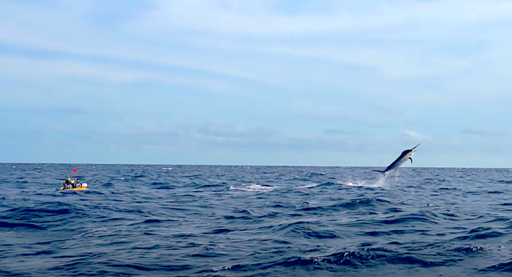 Adam Fisk of Los Buzos Resort makes history once again when an estimated 500+ pound marlin takes his bait while kayak fishing in front of his home on Panama's Pacific coast.